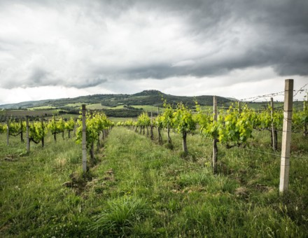 Certified organic Sangiovese vines in Sant Angelo in south west Montalcino